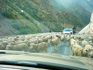 oshbsk_sheep.jpg