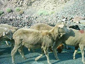 oshbsk_sheepup.jpg