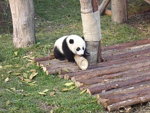 panda_S1.jpg