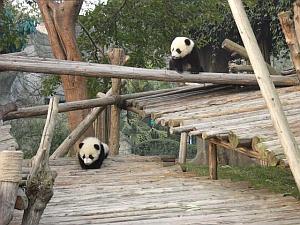 panda_s5.jpg